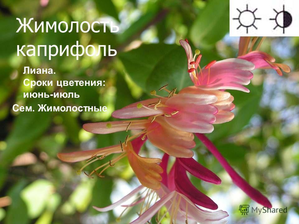 Жимолость каприфоль Лиана. Сроки цветения: июнь-июль Сем. Жимолостные