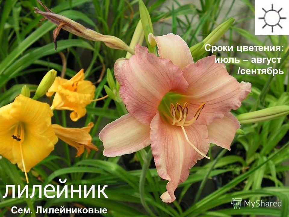 лилейник Сроки цветения: июль – август /сентябрь Сем. Лилейниковые
