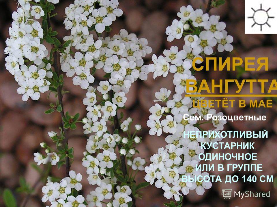 СПИРЕЯ ВАНГУТТА ЦВЕТЁТ В МАЕ НЕПРИХОТЛИВЫЙ КУСТАРНИК ОДИНОЧНОЕ ИЛИ В ГРУППЕ ВЫСОТА ДО 140 СМ Сроки цветения: июнь-июль Сем. Розоцветные