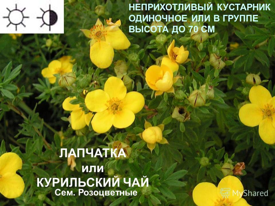 ЛАПЧАТКА или КУРИЛЬСКИЙ ЧАЙ НЕПРИХОТЛИВЫЙ КУСТАРНИК ОДИНОЧНОЕ ИЛИ В ГРУППЕ ВЫСОТА ДО 70 СМ Сроки цветения: июнь-июль Сем. Розоцветные