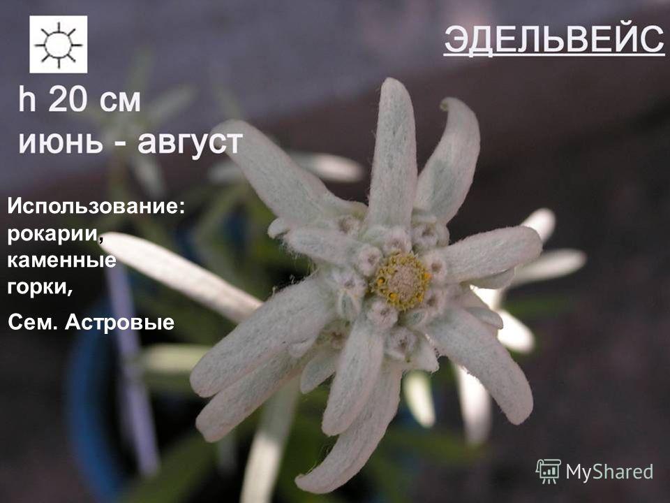 молодило Сроки цветения: июнь-июль Использование: рокарии, каменные горки, Сем. Астровые