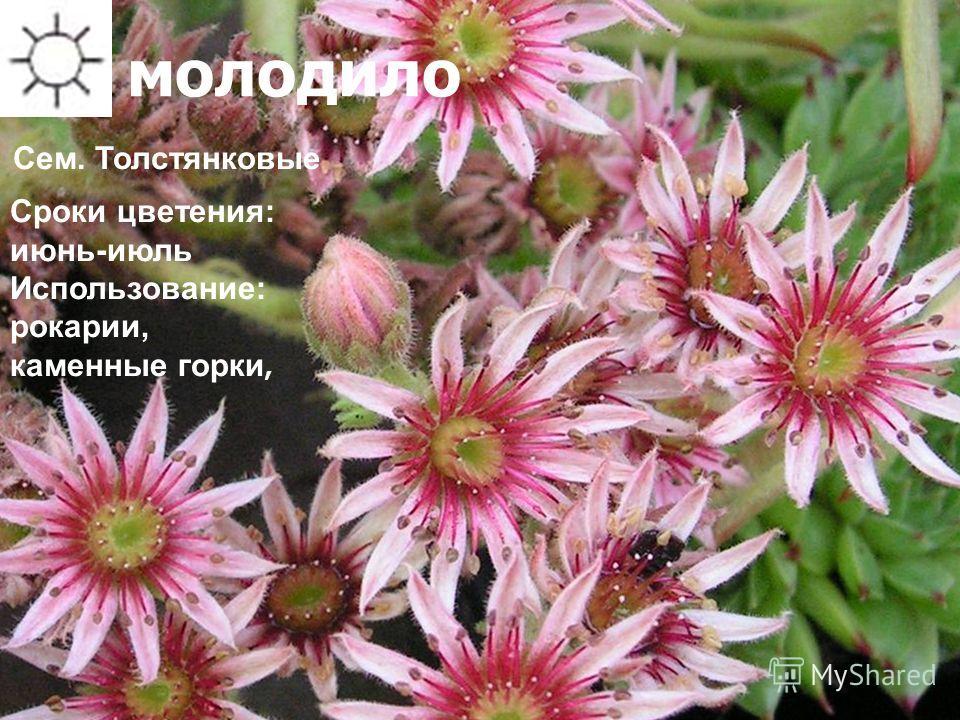 молодило Сроки цветения: июнь-июль Использование: рокарии, каменные горки, Сем. Толстянковые
