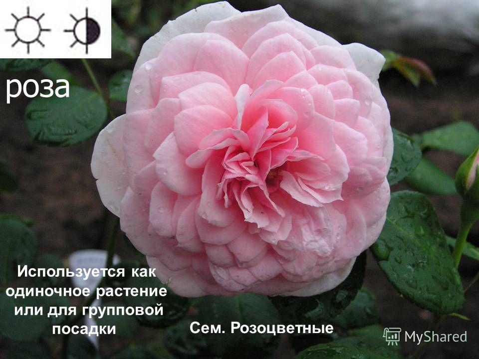 роза Используется как одиночное растение или для групповой посадки Сем. Розоцветные