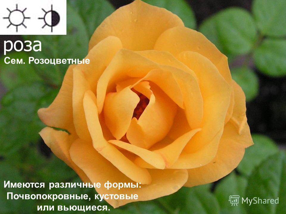 роза Имеются различные формы: Почвопокровные, кустовые или вьющиеся. Сем. Розоцветные