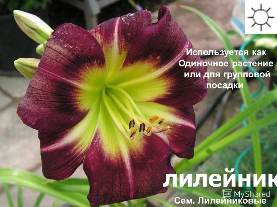 лилейник Используется как Одиночное растение или для групповой посадки Сем. Лилейниковые