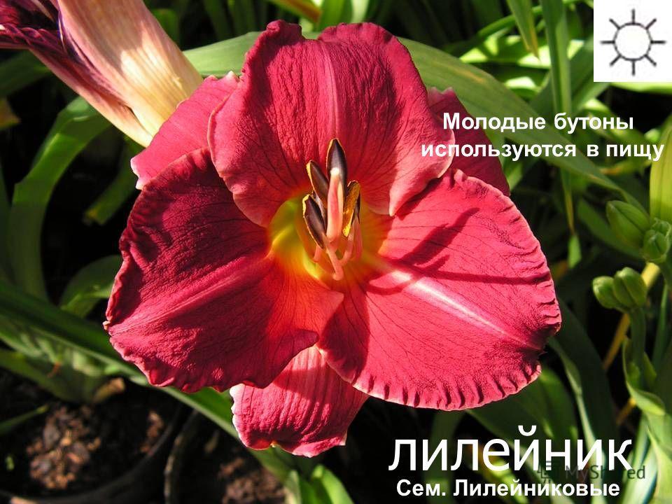 лилейник Сроки цветения: июнь-июль Молодые бутоны используются в пищу Сем. Лилейниковые