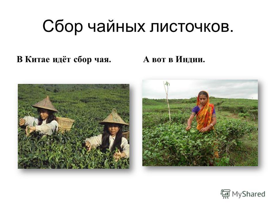 Сбор чайных листочков. В Китае идёт сбор чая. А вот в Индии.