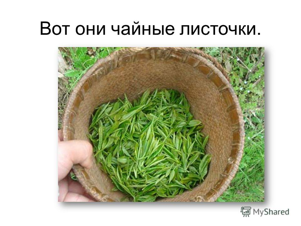 Вот они чайные листочки.