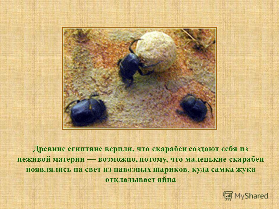 Древние египтяне верили, что скарабеи создают себя из неживой материи возможно, потому, что маленькие скарабеи появлялись на свет из навозных шариков, куда самка жука откладывает яйца