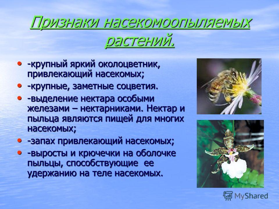 Признаки насекомоопыляемых растений. -крупный яркий околоцветник, привлекающий насекомых; -крупный яркий околоцветник, привлекающий насекомых; -крупные, заметные соцветия. -крупные, заметные соцветия. -выделение нектара особыми железами – нектарникам