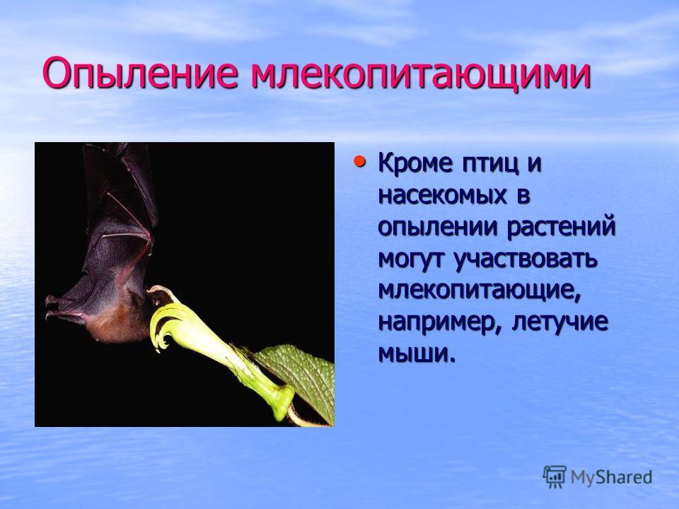 Опыление млекопитающими Кроме птиц и насекомых в опылении растений могут участвовать млекопитающие, например, летучие мыши. Кроме птиц и насекомых в опылении растений могут участвовать млекопитающие, например, летучие мыши.
