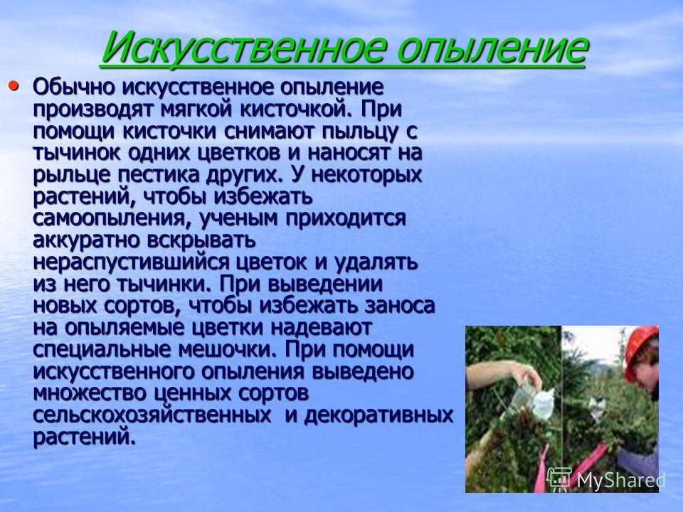 Искусственное опыление Обычно искусственное опыление производят мягкой кисточкой. При помощи кисточки снимают пыльцу с тычинок одних цветков и наносят на рыльце пестика других. У некоторых растений, чтобы избежать самоопыления, ученым приходится акку