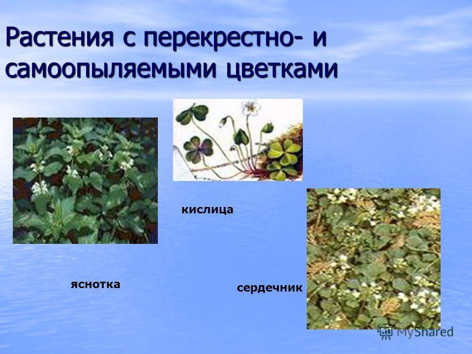 Растения с перекрестно- и самоопыляемыми цветками кислица яснотка сердечник
