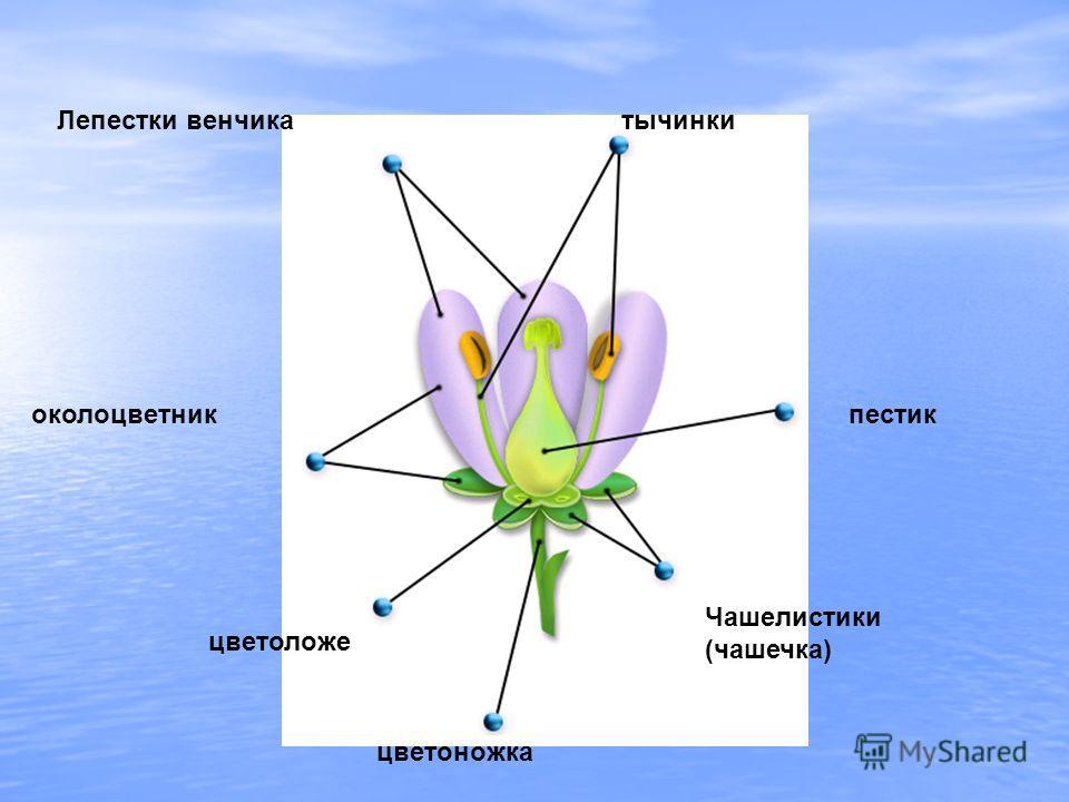 Лепестки венчикатычинки пестикоколоцветник цветоложе Чашелистики (чашечка) цветоножка