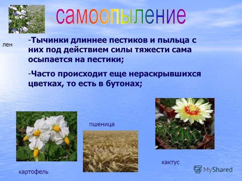 -Тычинки длиннее пестиков и пыльца с них под действием силы тяжести сама осыпается на пестики; -Часто происходит еще нераскрывшихся цветках, то есть в бутонах; картофель пшеница кактус лен