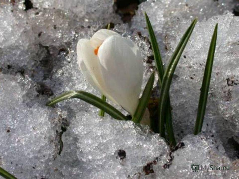 Англичане называют подснежник снежной каплей, или снежной сережкой. У французов и итальянцев он - снегосветитель, у чехов – снежинка, у немцев – снежный колокольчик.