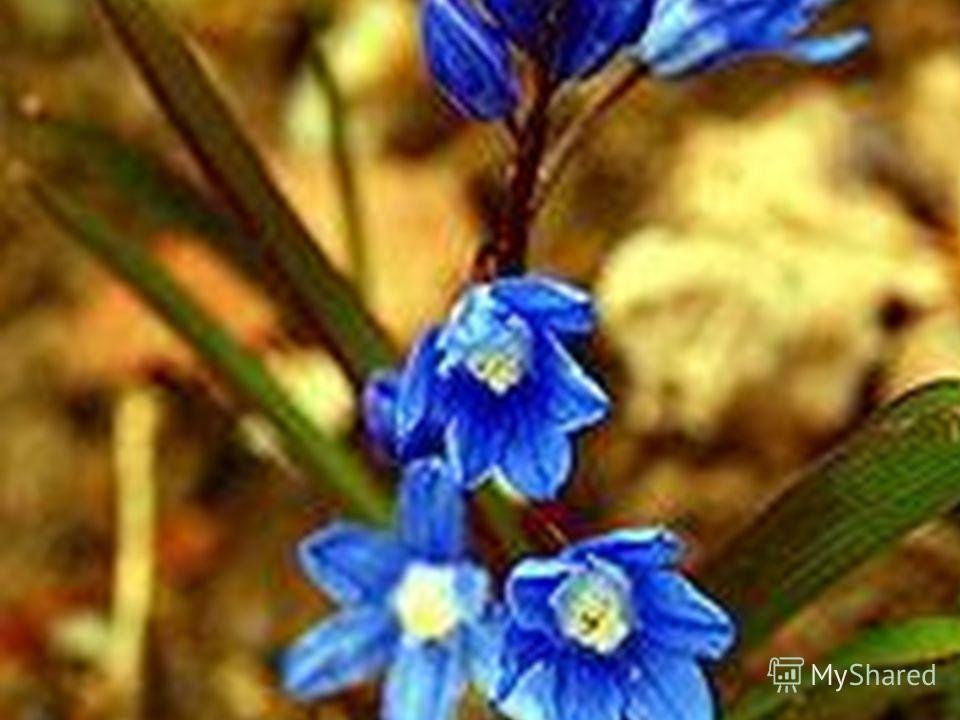 В России подснежниками часто называют любые ранние весенние цветы – медуницы и ветреницы, хохлатки и крокусы, пролески и анемоны. И многие первоцветы занесены в Красную книгу. Иногда думается, что выросли они и зацвели ранней весной специально, чтобы