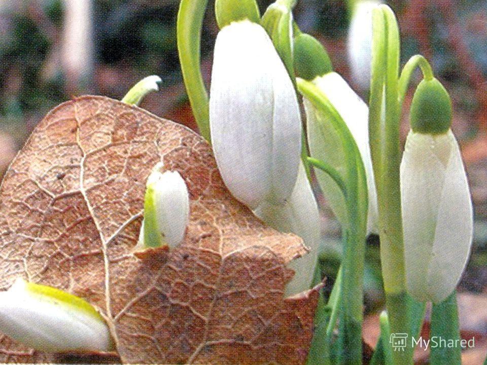 Цель : обобщить и закрепить представление о первых цветах весны (первоцветах) – подснежнике. Задачи: развитие познавательного интереса к миру природы; воспитание гуманного, эмоционально- положительного, бережного, заботливого отношения к природе.