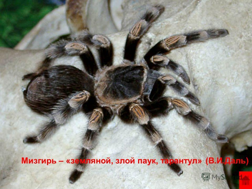 Мизгирь – «земляной, злой паук, тарантул» (В.И.Даль)