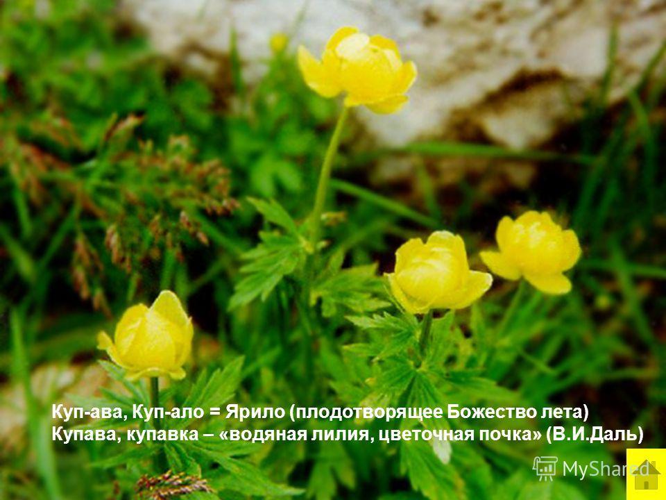 Куп-ава, Куп-ало = Ярило (плодотворящее Божество лета) Купава, купавка – «водяная лилия, цветочная почка» (В.И.Даль)
