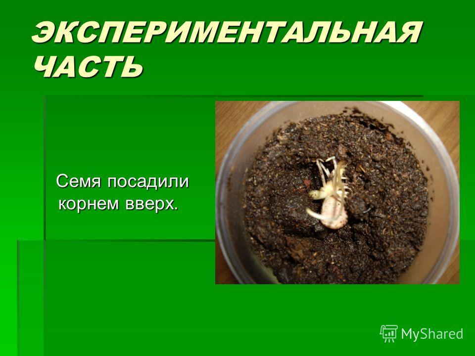ЭКСПЕРИМЕНТАЛЬНАЯ ЧАСТЬ Семя посадили корнем вверх. Семя посадили корнем вверх.