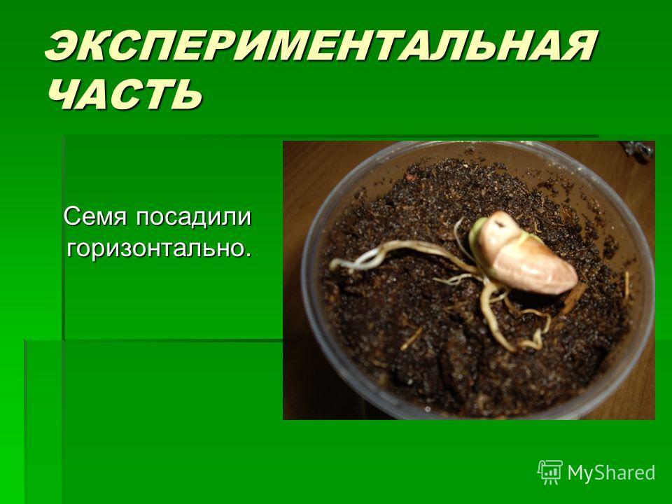 ЭКСПЕРИМЕНТАЛЬНАЯ ЧАСТЬ Семя посадили горизонтально. Семя посадили горизонтально.