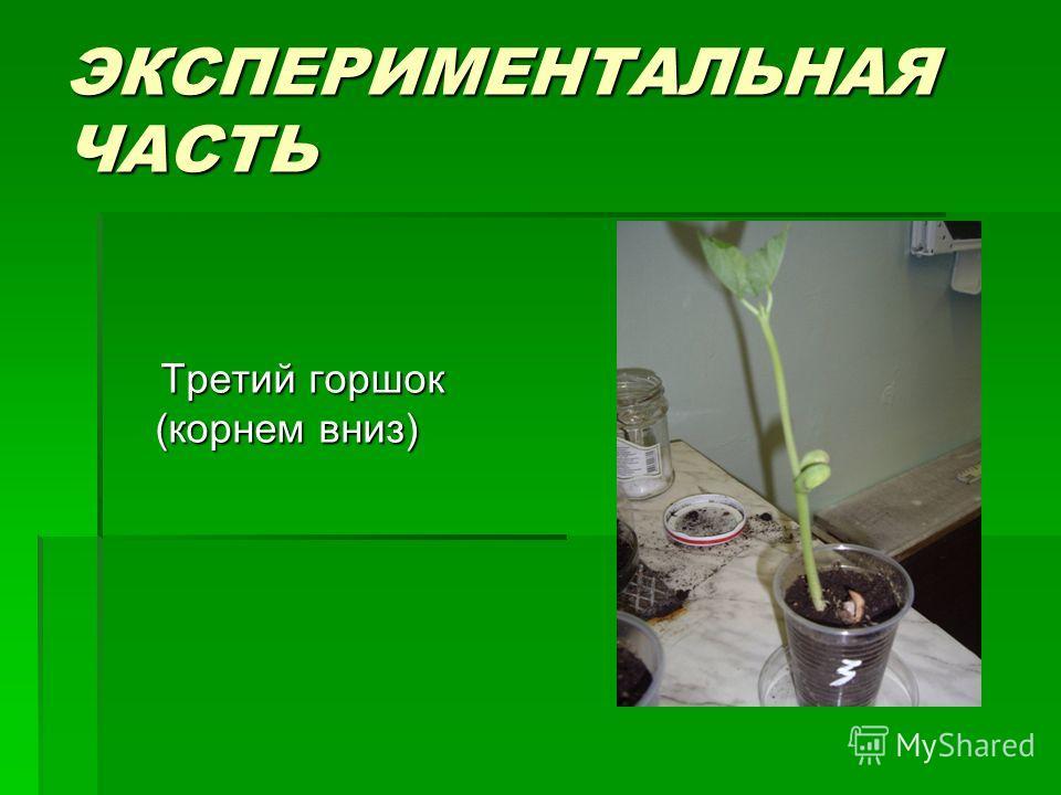 ЭКСПЕРИМЕНТАЛЬНАЯ ЧАСТЬ Третий горшок (корнем вниз) Третий горшок (корнем вниз)