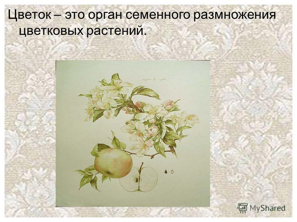 Цветок – это орган семенного размножения цветковых растений.
