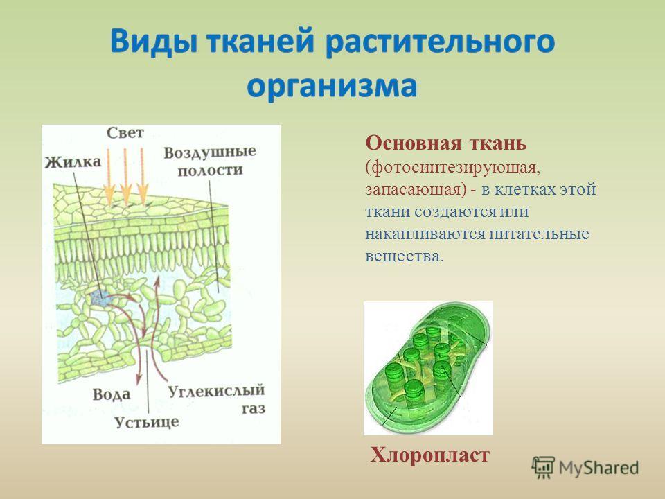 Основная ткань (фотосинтезирующая, запасающая) - в клетках этой ткани создаются или накапливаются питательные вещества. Хлоропласт