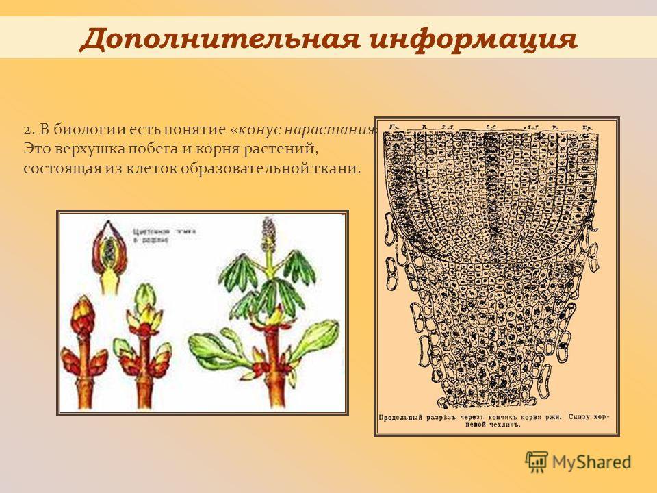 2. В биологии есть понятие «конус нарастания». Это верхушка побега и корня растений, состоящая из клеток образовательной ткани. Дополнительная информация