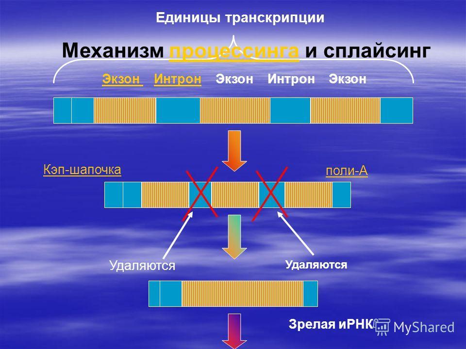 Единицы транскрипции Экзон Экзон Интрон Экзон Интрон ЭкзонИнтрон Кэп-шапочка поли-А Удаляются Зрелая иРНК Механизм процессинга и сплайсингпроцессинга
