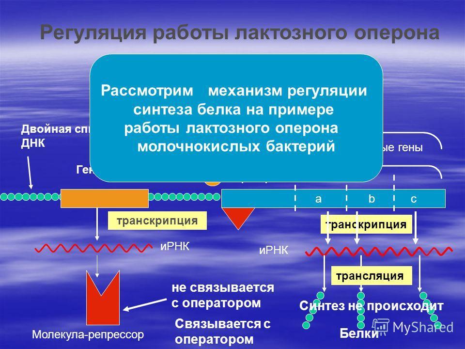 транскрипция иРНК Молекула-репрессор не связывается с оператором Оперон Структурные гены оператор аbc Двойная спираль ДНК Ген- регулятор Регуляция работы лактозного оперона иРНК Белки Связывается с оператором Синтез не происходит Рассмотрим механизм