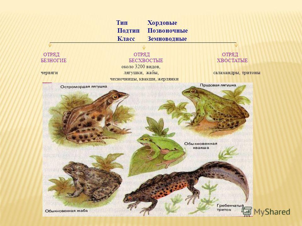 Тип Хордовые Подтип Позвоночные Класс Земноводные ОТРЯД ОТРЯД ОТРЯД БЕЗНОГИЕ БЕСХВОСТЫЕ ХВОСТАТЫЕ около 3200 видов, червяги лягушки, жабы, саламандры, тритоны чесночницы, квакши, жерлянки