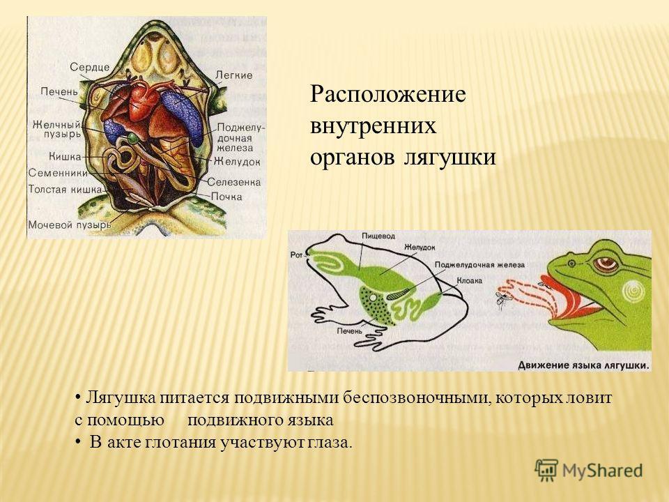 Расположение внутренних органов лягушки Лягушка питается подвижными беспозвоночными, которых ловит с помощью подвижного языка В акте глотания участвуют глаза.