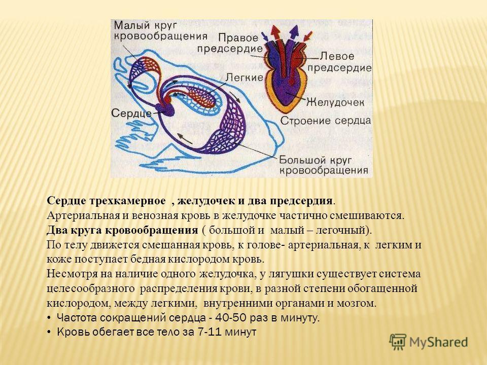 Сердце трехкамерное, желудочек и два предсердия. Артериальная и венозная кровь в желудочке частично смешиваются. Два круга кровообращения ( большой и малый – легочный). По телу движется смешанная кровь, к голове- артериальная, к легким и коже поступа
