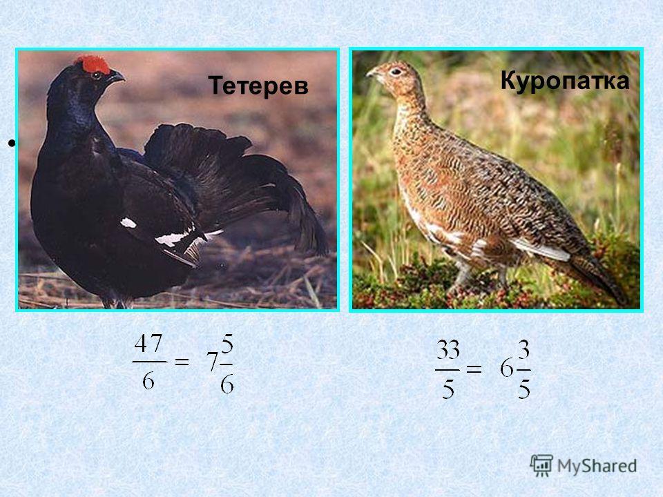 ; Тетерев Куропатка