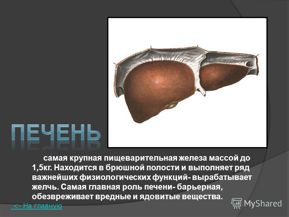 самая крупная пищеварительная железа массой до 1,5кг. Находится в брюшной полости и выполняет ряд важнейших физиологических функций- вырабатывает желчь. Самая главная роль печени- барьерная, обезвреживает вредные и ядовитые вещества.
