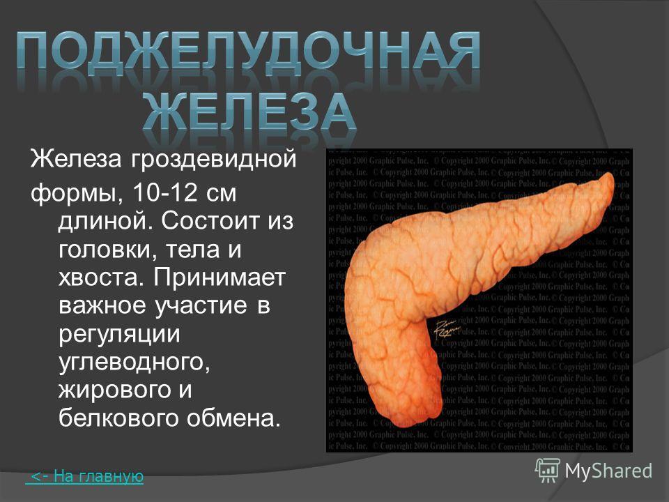 Железа гроздевидной формы, 10-12 см длиной. Состоит из головки, тела и хвоста. Принимает важное участие в регуляции углеводного, жирового и белкового обмена.