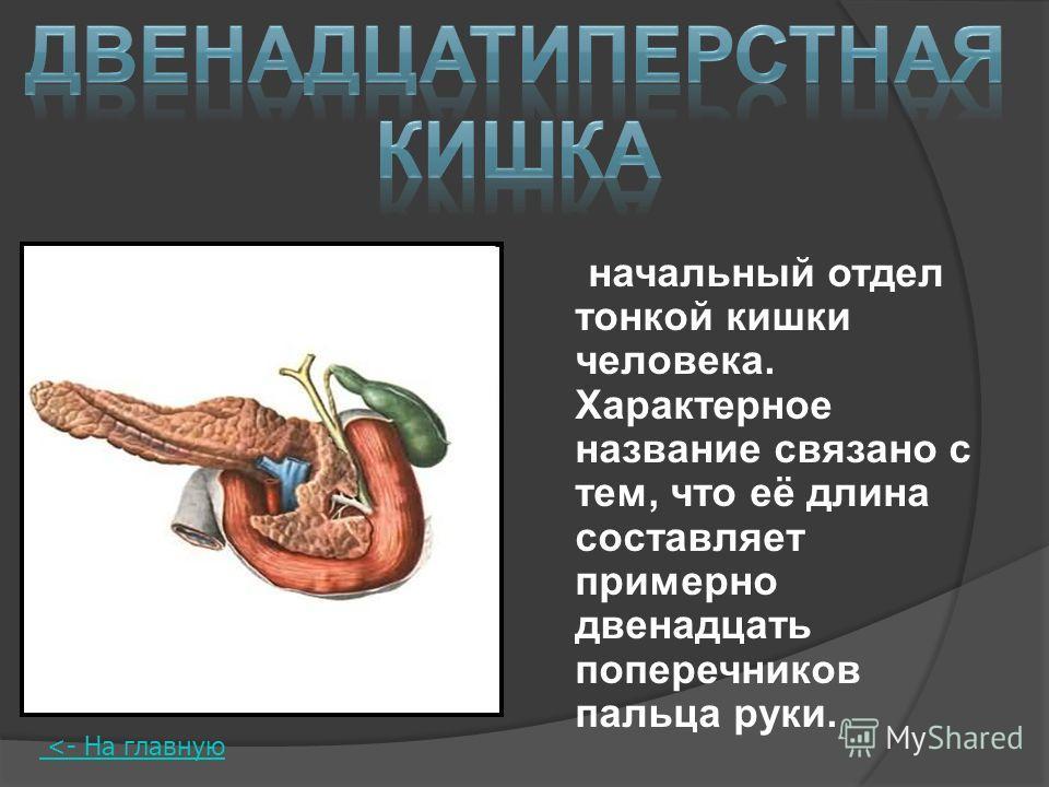 начальный отдел тонкой кишки человека. Характерное название связано с тем, что её длина составляет примерно двенадцать поперечников пальца руки.