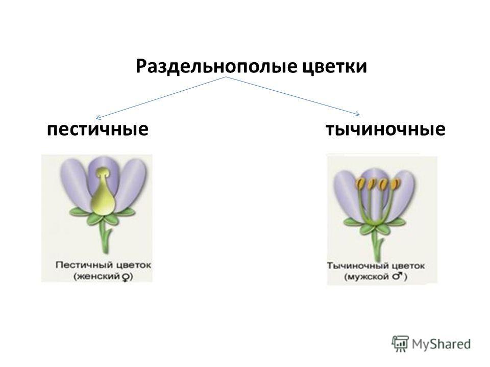 Раздельнополые цветки пестичные тычиночные
