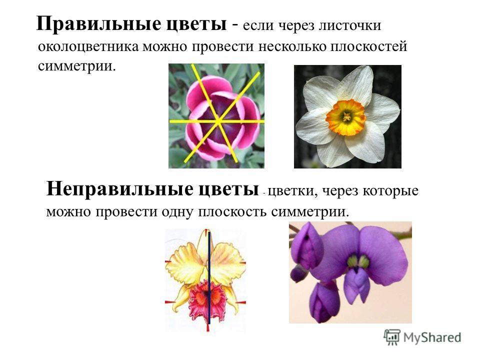 Правильные цветы - если через листочки околоцветника можно провести несколько плоскостей симметрии. Неправильные цветы - цветки, через которые можно провести одну плоскость симметрии.
