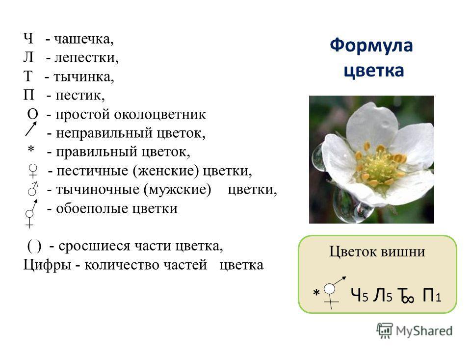 Формула цветка Цветок вишни * Ч 5 Л 5 Т П 1 8 Ч - чашечка, Л - лепестки, Т - тычинка, П - пестик, О - простой околоцветник - неправильный цветок, * - правильный цветок, - пестичные (женские) цветки, - тычиночные (мужские) цветки, - обоеполые цветки (