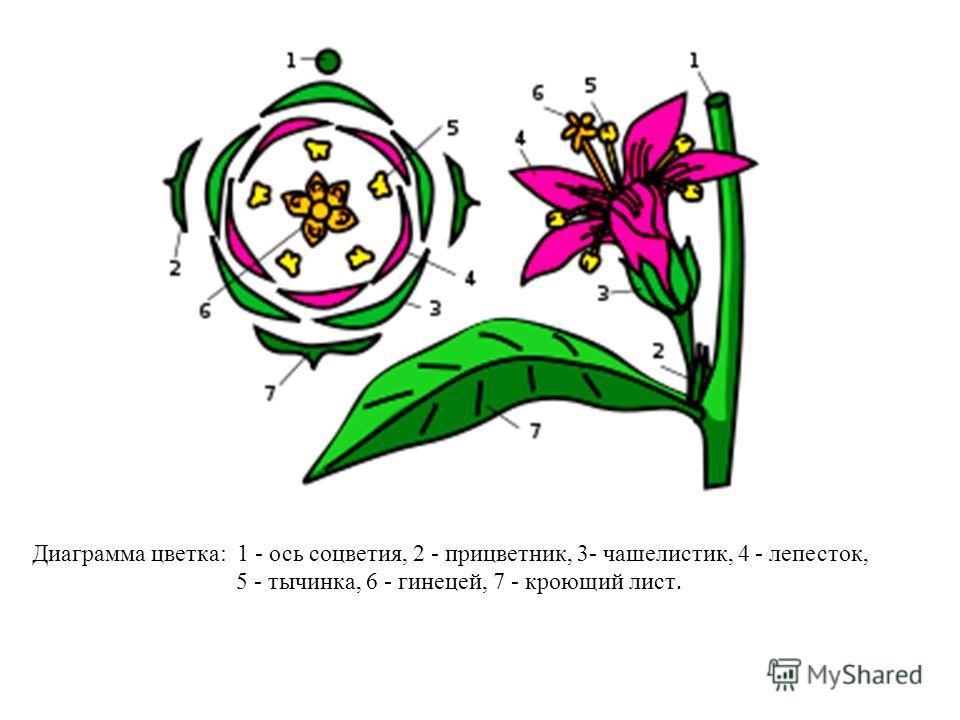 Диаграмма цветка: 1 - ось соцветия, 2 - прицветник, 3- чашелистик, 4 - лепесток, 5 - тычинка, 6 - гинецей, 7 - кроющий лист.