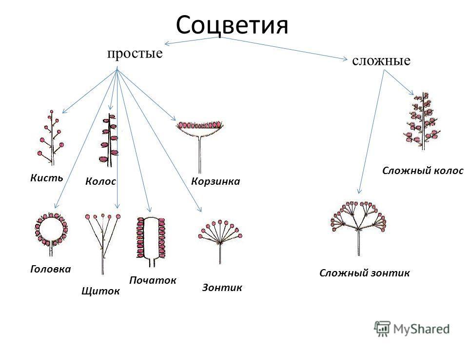 Соцветия Сложный колос Сложный зонтик Щиток Початок Головка Зонтик КорзинкаКолос Кисть простые сложные