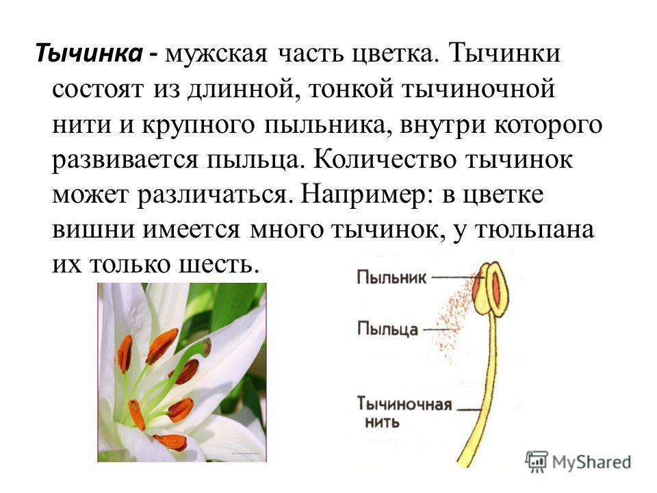 Тычинка - мужская часть цветка. Тычинки состоят из длинной, тонкой тычиночной нити и крупного пыльника, внутри которого развивается пыльца. Количество тычинок может различаться. Например: в цветке вишни имеется много тычинок, у тюльпана их только шес