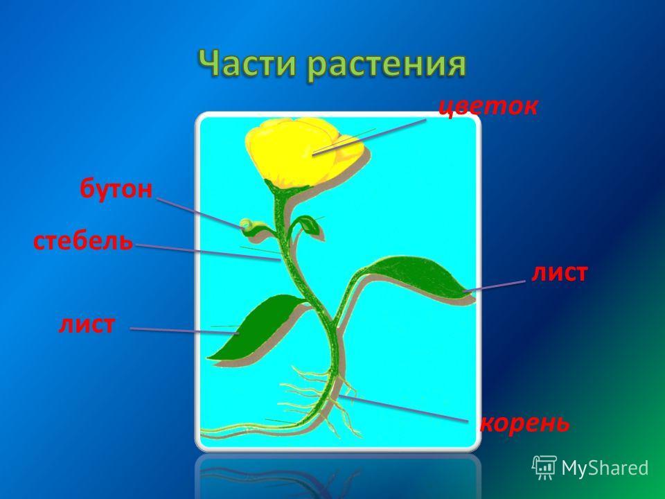 цветок стебель лист бутон лист корень