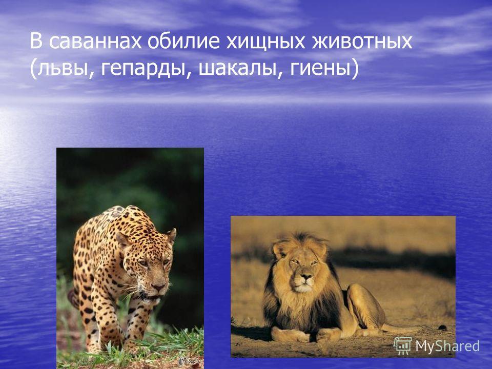 В саваннах обилие хищных животных (львы, гепарды, шакалы, гиены)