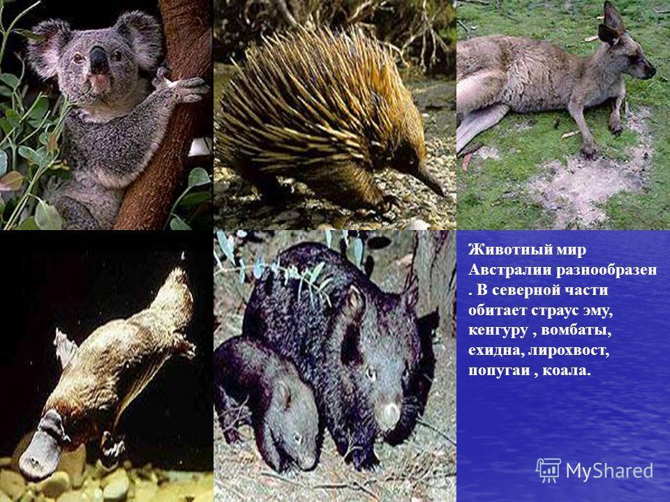 Животный мир Австралии разнообразен. В северной части обитает страус эму, кенгуру, вомбаты, ехидна, лирохвост, попугаи, коала.