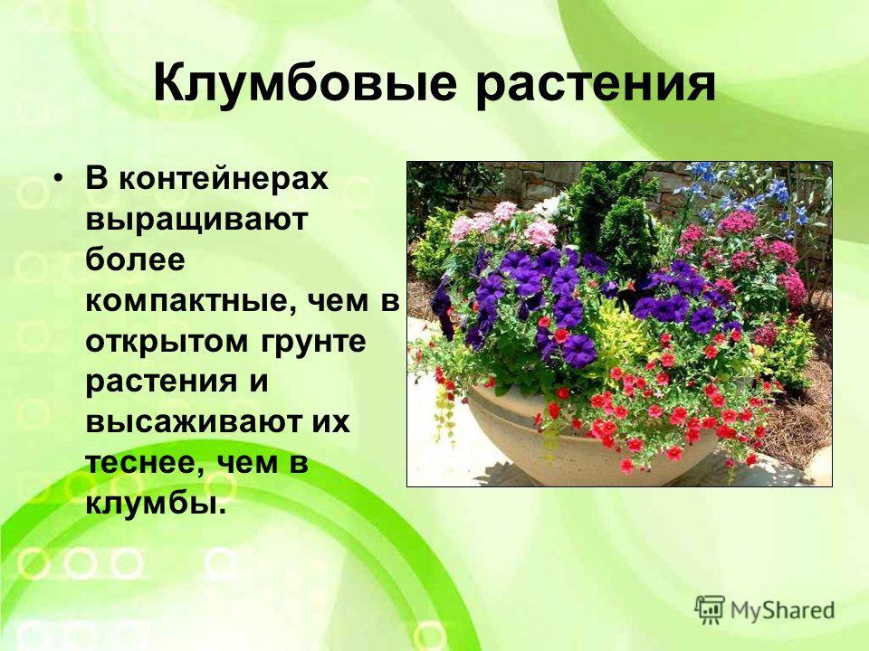 Клумбовые растения В контейнерах выращивают более компактные, чем в открытом грунте растения и высаживают их теснее, чем в клумбы.