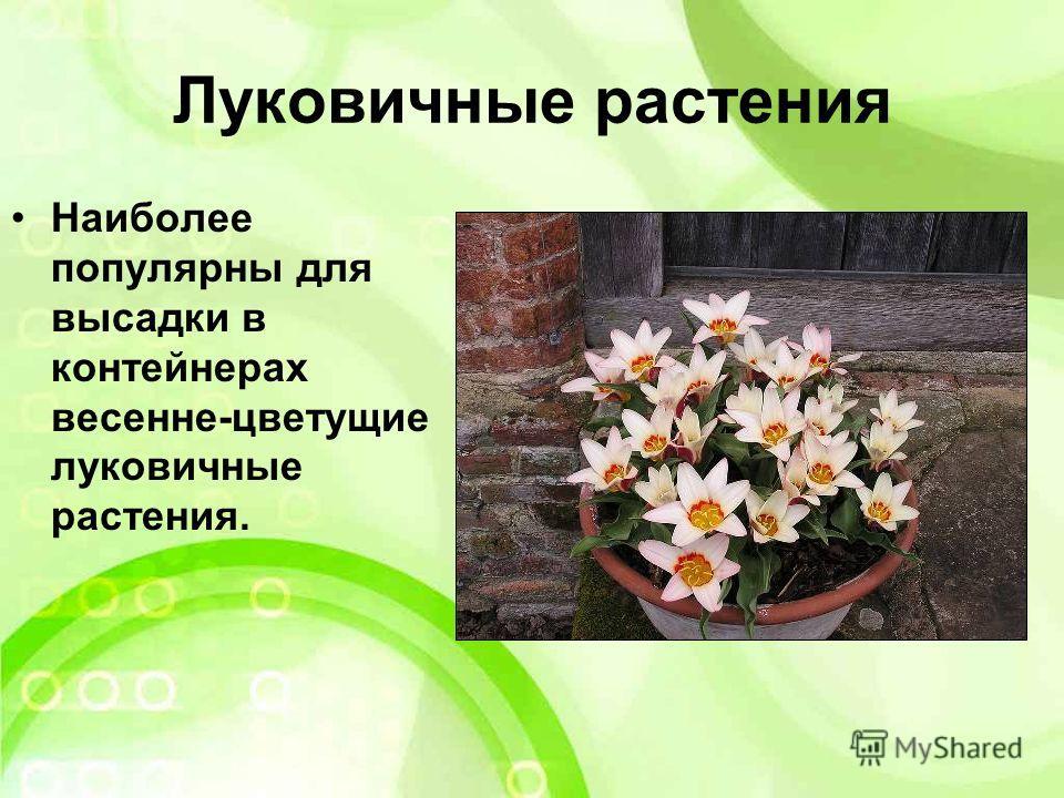 Луковичные растения Наиболее популярны для высадки в контейнерах весенне-цветущие луковичные растения.